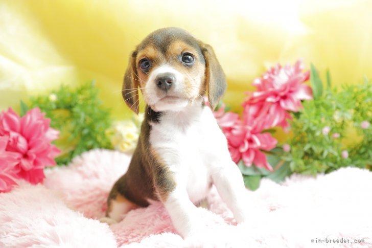 ビーグルの子犬の高画質画像をまとめました!かわいすぎる仰向け画像も!