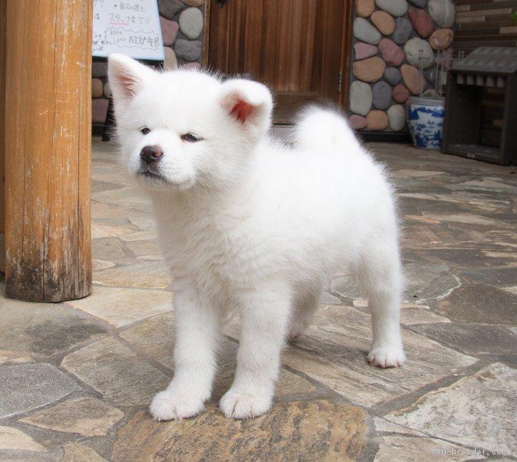 秋田犬の画像 p1_33
