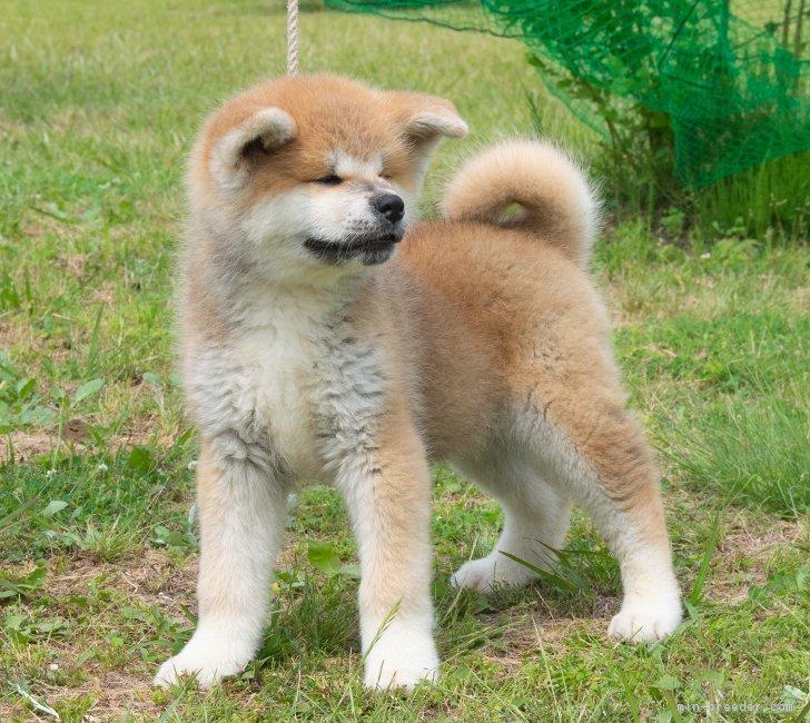 秋田犬の画像 p1_34