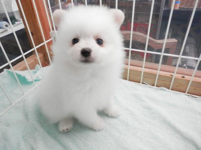 ポメラニアン 子犬 白