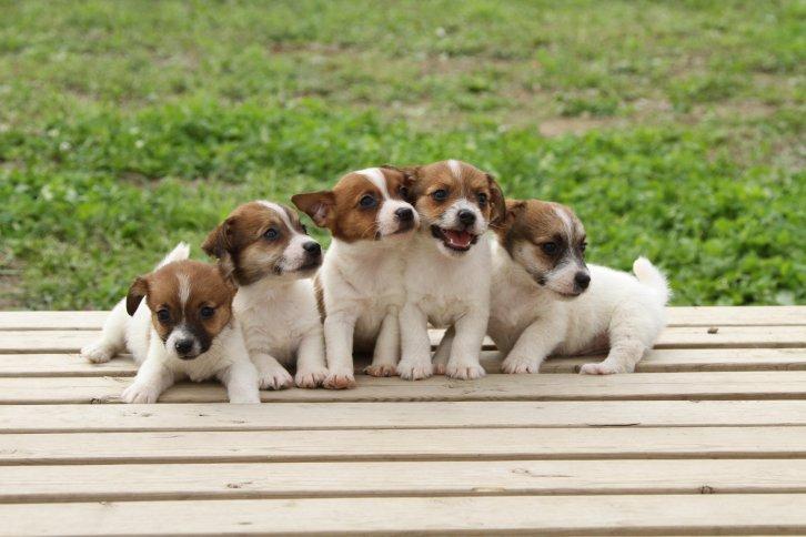 Resultado de imagen para jack russell terrier 犬  子犬