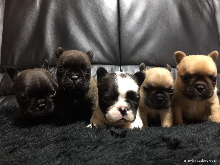 フレンチブルドッグ 子犬 値段