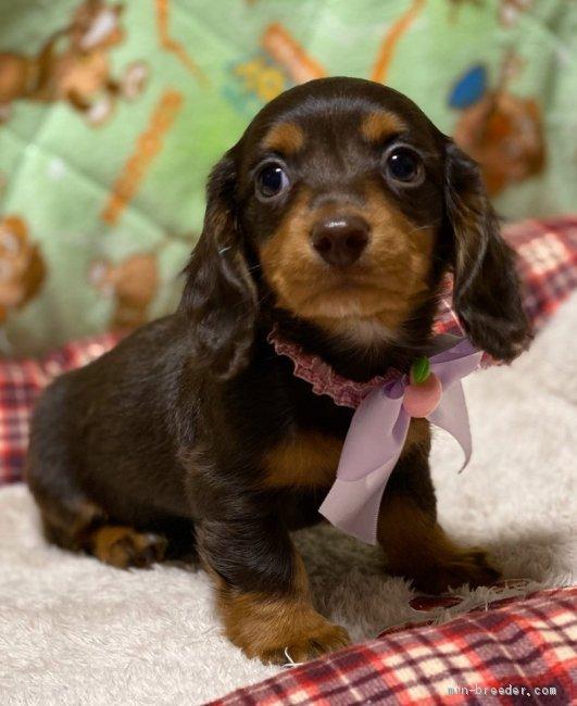 ミニチュアダックスフンド ロング 女の子 チョコタン 2020 03 03生まれ 福岡県 子犬id 2004 00695 小顔で可愛い女の子です みんなのブリーダー