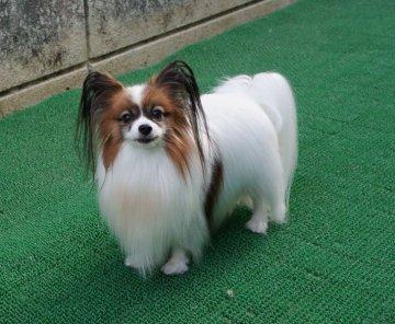 埼玉 子犬 里親 埼玉県の子犬|里親募集|ジモティー