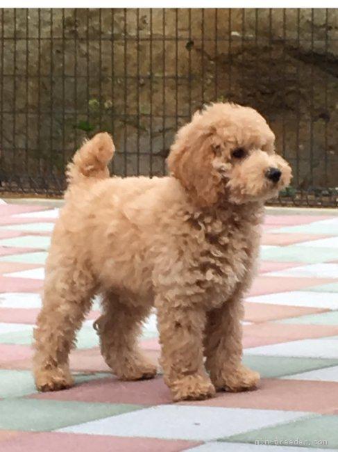 ミディアム プードル ブリーダー ミディアムプードルの子犬を探す|ブリーダーナビ