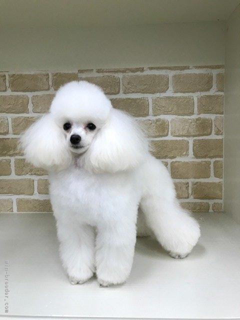 神奈川 トイプードル トイプードルの子犬:さかいペット:神奈川県横浜市 ヨークシャテリア、トイプードル、ボストンテリアのブリーダー