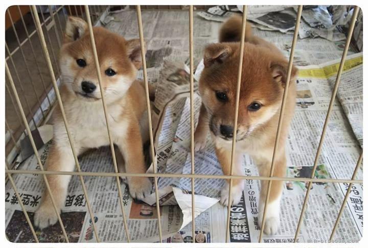 荘 評判 富士野 島根県の新留様から<成犬でお迎えされた チップくん>のお便り