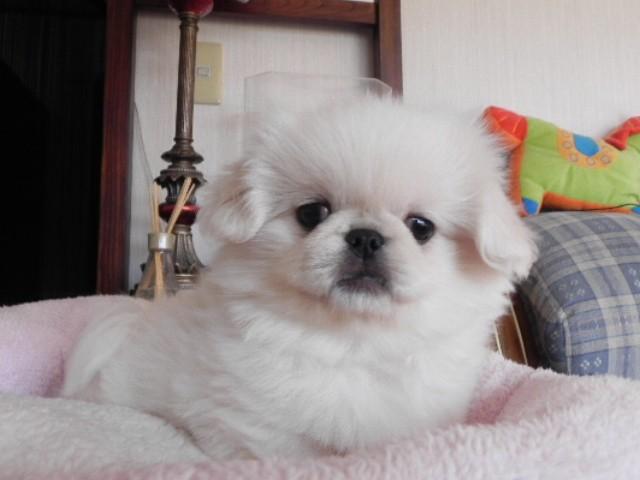 ペキニーズ 男の子 ホワイト 2011/11/11生まれ 青森県 子犬ID