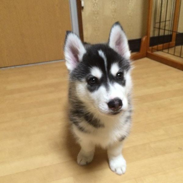 シベリアン ハスキー 子犬 シベリアンハスキー子犬2021年1月生【募集終了】