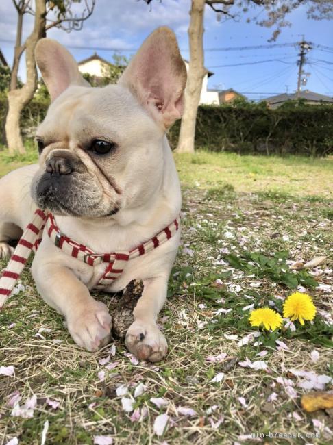 子犬 ます フレンチブルドッグ 無料 譲り 愛知県のフレンチブルドッグ 里親募集 ジモティー