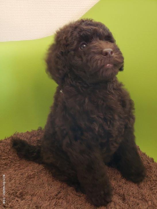 ミディアム プードル ブリーダー ミディアムプードルの子犬を探す|専門ブリーダー直販の子犬販売【み...