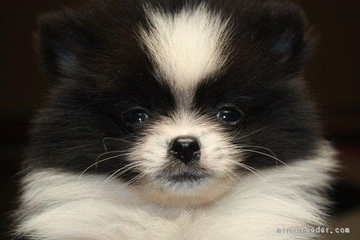 ID:1701,00575の子犬