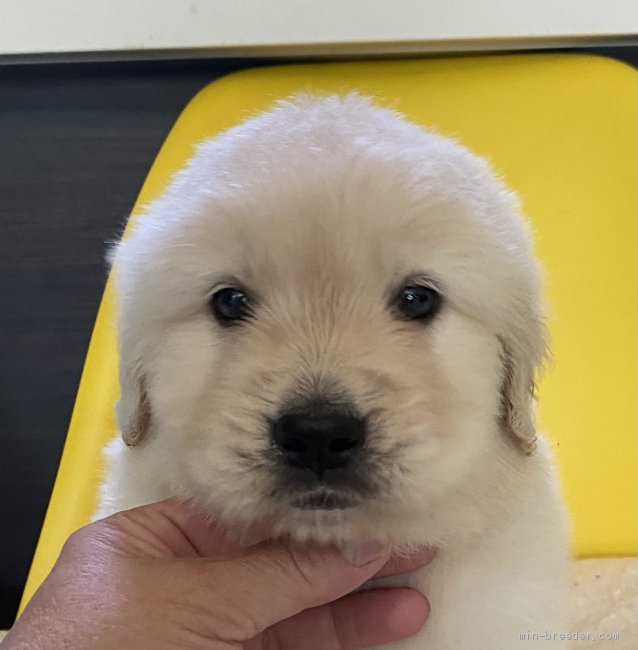 レトリバー 万 ゴールデン 円 3 大型犬人気ナンバー1! ゴールデンレトリバーの特徴と魅力について