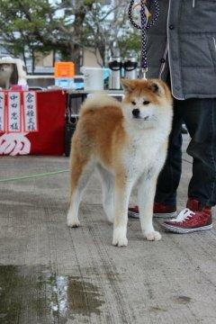 秋田犬 販売