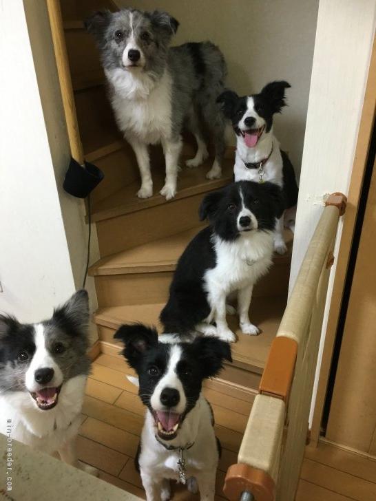Resultado de imagen para 犬  border collie 楽しい