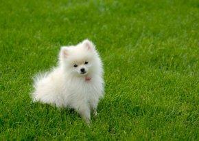 ポメラニアンの子犬を探す|専門ブリーダー直販の子犬販売