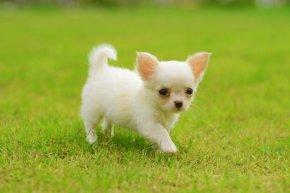 犬 子犬 小型