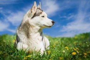 ハスキー 犬 値段