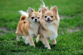 ホワイト系のチワワ(ロング)の子犬を探す|専門ブリーダー直販の