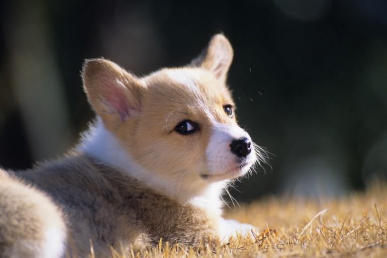かわいいだけの犬じゃない! ウェルシュコーギーってどんな ...