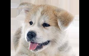 犬 安い ブリーダー ブリーダーが育て上げた可愛い柴犬をお安い価格で販売いたします