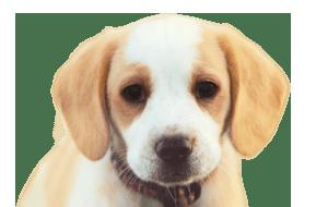 ビーグルの子犬を探す|専門ブリーダー直販の子犬販売【みんなの