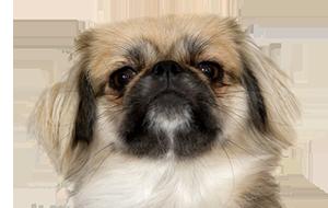 ペキニーズの子犬を探す|専門ブリーダー直販の子犬販売