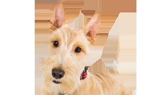 犬 安い ブリーダー ブリーダーで犬を買う時の注意点