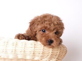 みんなのブリーダー , 優良ブリーダー直販の子犬販売サイト